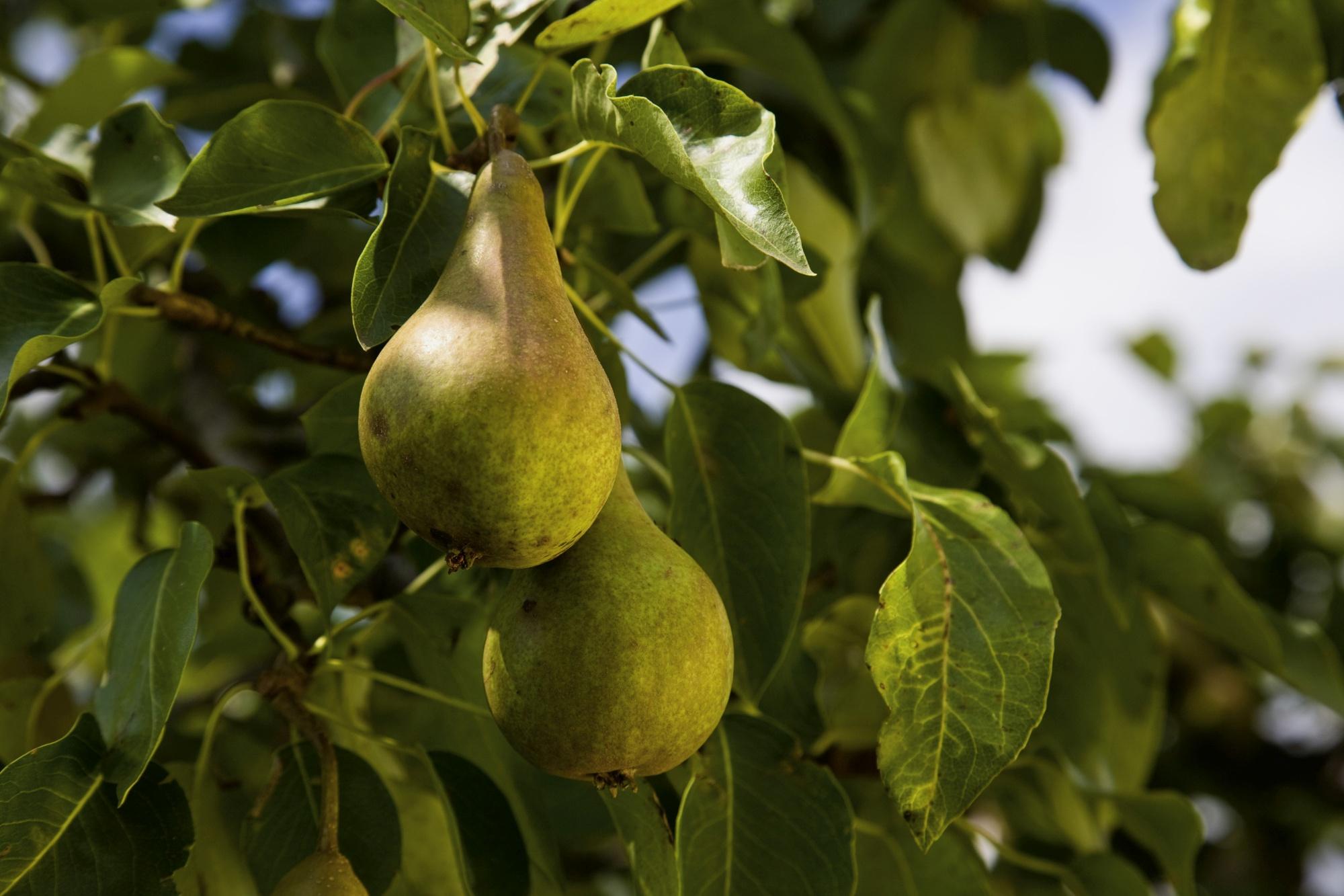 Bild von reifen Biobirnen am Birnbaum