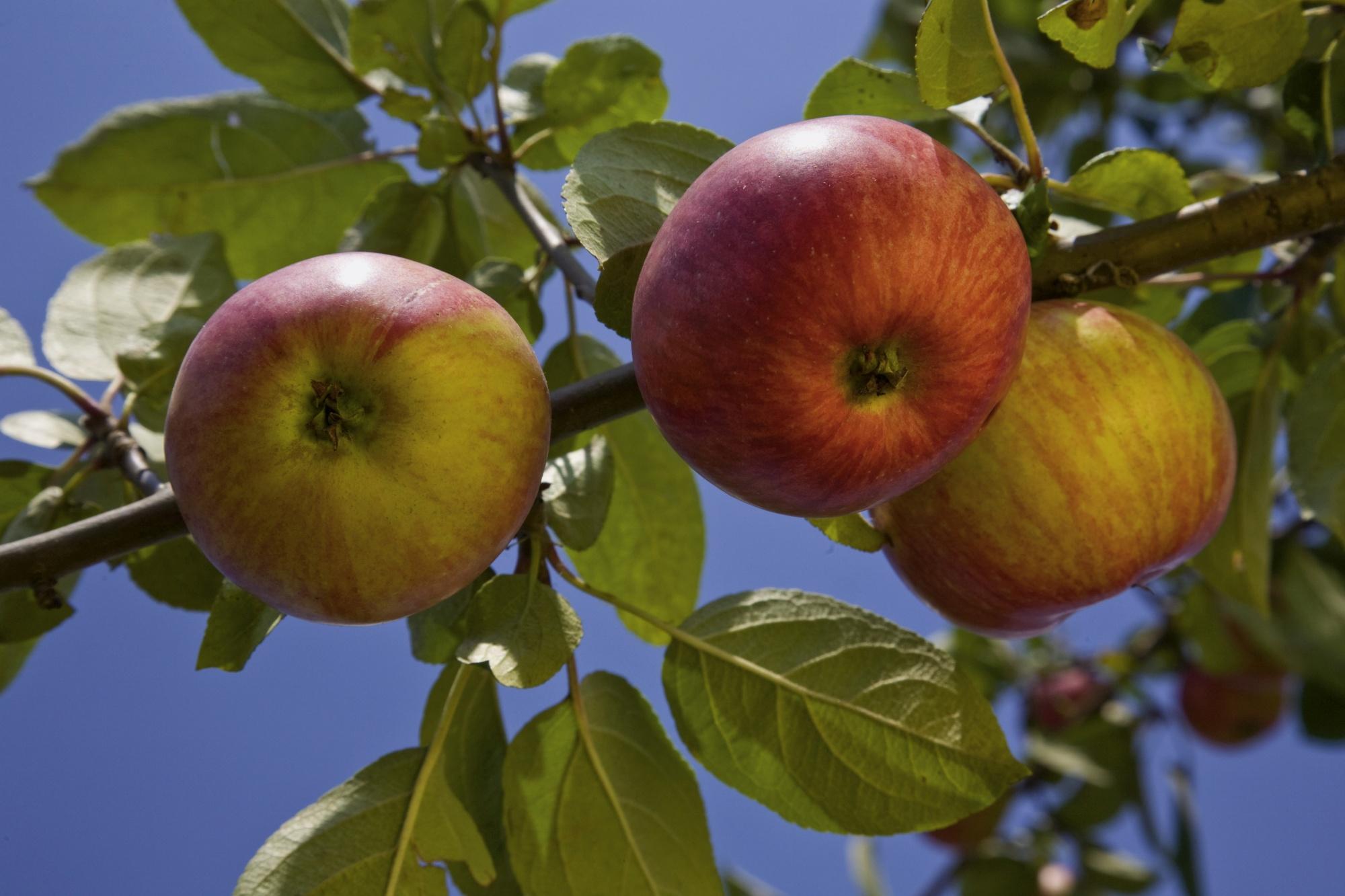 Bild von prallen Bio Äpfeln am Apfelbaum