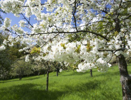 Kirschblüte in Mittelehrenbach